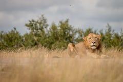 Męski lew gapi się przy kamerą Obrazy Royalty Free