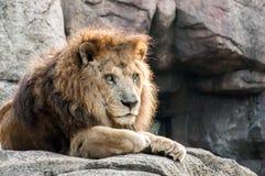 Męski lew gapi się z powrotem Zdjęcia Royalty Free
