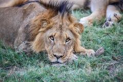 Męski lew gra główna rolę przy kamerą Zdjęcie Royalty Free