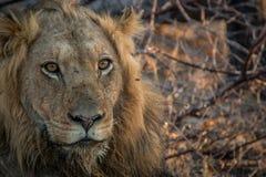 Męski lew gra główna rolę w Kruger parku narodowym Obraz Royalty Free