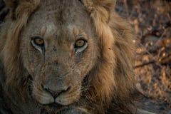 Męski lew gra główna rolę w Kruger parku narodowym Zdjęcia Royalty Free