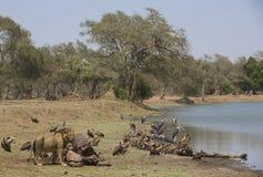 Męski lew Hipopotamowym ścierwem (Panthera Leo) (hipopotam a Zdjęcie Royalty Free