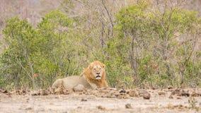Męski lew i dziecko odpoczywa w Kruger parku, Południowa Afryka Fotografia Royalty Free