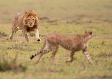Męski lew i gepard w Masai Mara gry rezerwie, Kenja fotografia royalty free