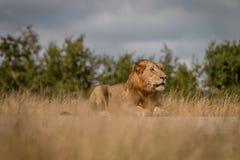 Męski lew kłaść na drodze Zdjęcia Stock