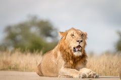 Męski lew kłaść na drodze Fotografia Stock