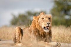 Męski lew kłaść na drodze Obrazy Stock