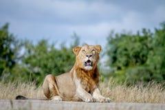 Męski lew kłaść na drodze w Kruger Obraz Royalty Free