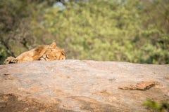 Męski lew kłaść na skałach Zdjęcia Royalty Free