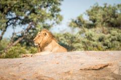 Męski lew kłaść na skałach Obrazy Royalty Free