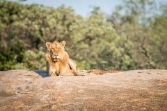 Męski lew kłaść na skałach Obrazy Stock