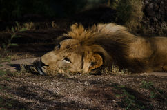 Męski lew kłaść na ziemi Zdjęcia Royalty Free