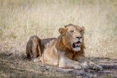 Męski lew kłaść w dół w trawie Obraz Royalty Free