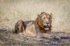 Męski lew kłaść w dół w trawie Obrazy Royalty Free