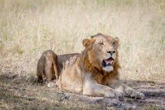 Męski lew kłaść w dół w trawie Obrazy Stock