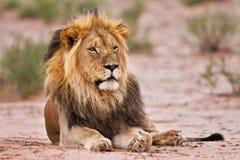 Męski lew kłaść w kgalagadi Zdjęcia Stock