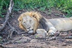 Męski lew kłaść w piasku Obraz Stock