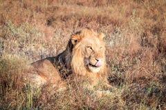 Męski lew kłaść w trawie Zdjęcia Royalty Free