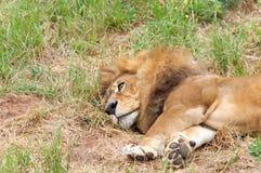 Męski lew kłaść w trawie, zamyka up Zdjęcie Royalty Free