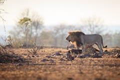 Męski lew który łapał wildebeest Fotografia Royalty Free