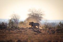 Męski lew który łapał wildebeest Obrazy Royalty Free