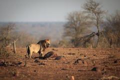 Męski lew który łapał wildebeest Zdjęcia Stock
