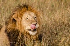Męski lew liże jego wargi w Masai Mara Zdjęcia Stock