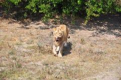 Męski lew niesie kawałek świeży mięso w zębach zdjęcie royalty free