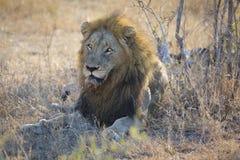 Męski lew odpoczywa na gras po jeść kłaść puszek Zdjęcia Royalty Free