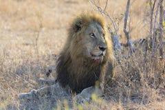 Męski lew odpoczywa na gras po jeść kłaść puszek Obrazy Royalty Free