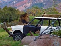 Męski lew ogląda nad żeńskimi lwicami Zdjęcia Royalty Free