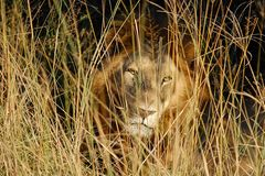 Męski lew ono wpatruje się przez trawy Obraz Royalty Free