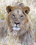 Męski lew patrzeje kamerę Obrazy Royalty Free