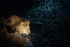 Męski lew pije w świetle reflektorów Obraz Royalty Free