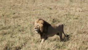 Męski lew posuwa się naprzód na rywalizującej samiec w Masai Mara, Kenja zdjęcie wideo