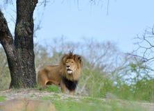 Męski lew przegląda od wzgórza Obrazy Royalty Free