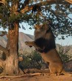 Męski lew przyglądający up w drzewie Zdjęcie Stock