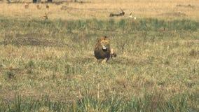 Męski lew siedzi coś w Masai Mara i ogląda zbiory