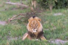Męski lew stawia czoło słońce Obrazy Stock