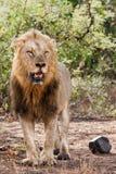Męski lew w Kruger NP - Południowa Afryka zdjęcie royalty free