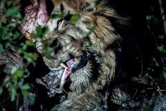 Męski lew w Kruger parku narodowym, Południowa Afryka Zdjęcie Stock