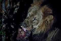 Męski lew w Kruger parku narodowym, Południowa Afryka Obraz Royalty Free