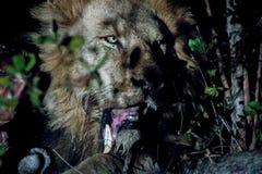 Męski lew w Kruger parku narodowym, Południowa Afryka Obrazy Royalty Free