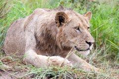 Męski lew w krzaku Obrazy Royalty Free
