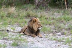 Męski lew w późnym popołudniu Obrazy Royalty Free