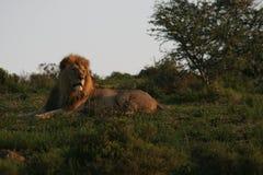 Męski lew w Południowa Afryka Fotografia Stock