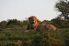 Męski lew w Południowa Afryka Obraz Royalty Free