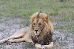 Męski lew w popołudniu Obrazy Royalty Free