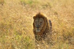 Męski lew w sawannie Zdjęcia Stock