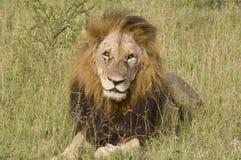 Męski lew w sawannie, Kruger park narodowy, Południowa Afryka Obrazy Royalty Free
